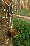 Διαδρομές που τρυπούν τα λαστιχένια δέντρα Στοκ Εικόνες
