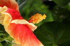 Διπλά Hibiscus στρώματος Στοκ Φωτογραφία