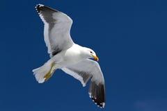 Δομινικανός γλάρος που πετά στα ύψη στο μπλε ουρανό Στοκ Εικόνες