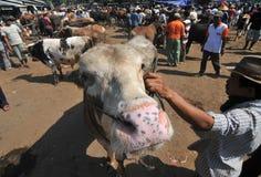 Δραστηριότητα στην παραδοσιακή αγορά αγελάδων κατά τη διάρκεια της προετοιμασίας Eid Al-Adha στην Ινδονησία Στοκ Φωτογραφίες