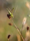 Δρεπάνι-φέρων γρύλος του Μπους (falcata Phaneroptera) σε μια χλόη Fi Στοκ Εικόνες