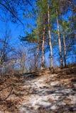 Δρόμος σε ένα όμορφο δάσος πεύκων Στοκ Εικόνα