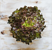 Δρύινο μαρούλι φύλλων Στοκ Εικόνα