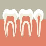 Δόντια Στοκ Εικόνες