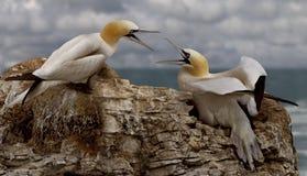 Δύο θηλυκό Gannets Στοκ Φωτογραφίες