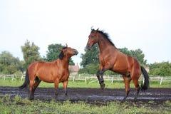 Δύο καφετιά άλογα που παλεύουν στο κοπάδι Στοκ εικόνα με δικαίωμα ελεύθερης χρήσης