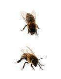 Δύο μέλισσες που απομονώνονται Στοκ εικόνες με δικαίωμα ελεύθερης χρήσης