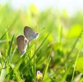 Δύο μικροσκοπικές πεταλούδες Στοκ φωτογραφία με δικαίωμα ελεύθερης χρήσης