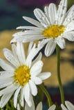 Δύο Daisy Στοκ Φωτογραφία