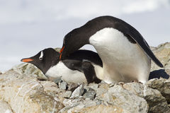 Δύο Gentoo penguins παλεύουν κοντά Στοκ Φωτογραφίες