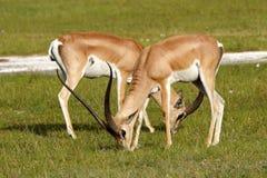 дар gazelle пася мужчин s Кении Стоковые Фото