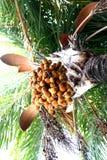 датируйте пальму Стоковое Изображение RF