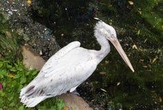 Далматинский пеликан Стоковое Изображение RF