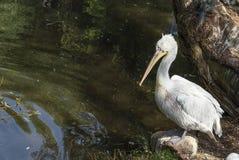 Далматинский пеликан Стоковое Изображение