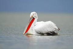 Далматинский пеликан Стоковое фото RF