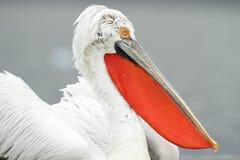 Далматинский пеликан Стоковые Изображения