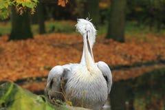 Далматинский пеликан Стоковые Изображения RF