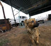 Дворняжка Большая красная собака собака в дворе Стоковая Фотография