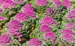 Декоративная капуста Стоковая Фотография RF