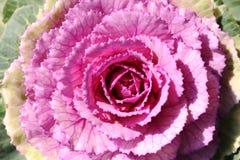 Декоративная капуста Стоковые Фотографии RF