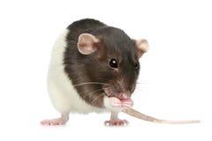 декоративная крыса малая Стоковое фото RF