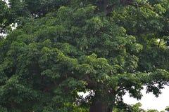 Дерево баобаба Стоковые Изображения RF
