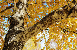 Дерево березы Стоковые Изображения