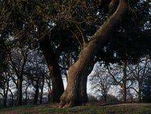 Дерево в парке на заходе солнца Стоковое Изображение RF