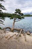 Дерево и корни Стоковое Изображение
