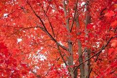 Дерево клена в цветах осени Стоковое Изображение RF