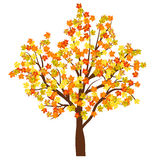 Дерево клена осени Стоковое Фото