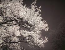 Дерево магнолии в цветени. Стоковое Изображение