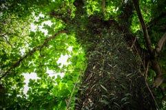 Дерево обоев и предпосылки зеленого цвета природы Стоковые Изображения RF