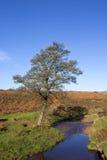 Дерево ольшаника вересковой пустоши Стоковое Изображение RF