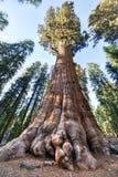 Дерево секвойи генерала Шермана Стоковое Изображение