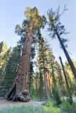 Дерево секвойи генерала Grant, национальный парк королей Каньона Стоковое фото RF