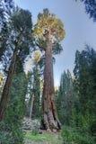 Дерево секвойи генерала Grant, национальный парк королей Каньона Стоковые Изображения