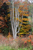 дерево Серебр-бука Стоковое фото RF