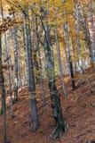 дерево Серебр-бука Стоковые Фото