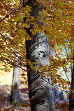 дерево Серебр-бука Стоковая Фотография RF