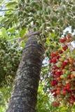 Дерево финиковой пальмы Стоковое Изображение