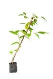 Дерево цветка иланг-иланга Стоковое Изображение