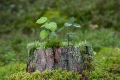 Деревца, мох и лишайник na górze пня дерева Стоковое Фото