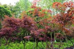 Деревья клена Китая Стоковое Изображение