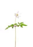 Деревянная ветреница (nemorosa ветреницы) Стоковая Фотография