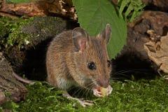 Деревянная мышь - sylvaticus Apodemus Стоковое Изображение RF