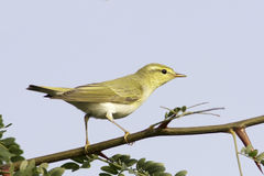 Деревянная певчая птица в естественной среде обитания/sibilatrix Phylloscopus Стоковые Фото