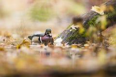Деревянная утка Drake Стоковое Изображение RF