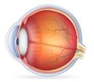 Детальная иллюстрация человеческого глаза анатомическая Стоковое Изображение RF