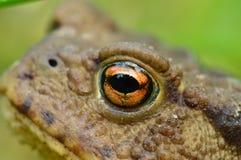 Деталь глаза bufo Bufo Стоковое Изображение RF